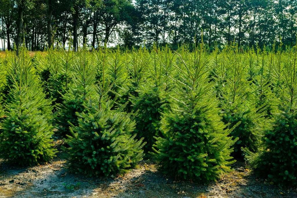 plantation sapins