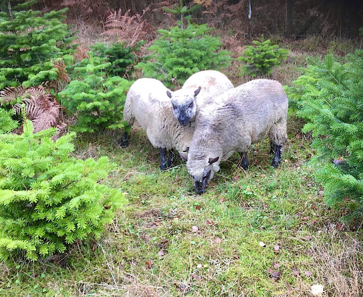 moutons-paturage